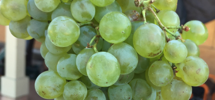 "Progress Update – Marsanne/Roussanne ""Cépages d'Or"""
